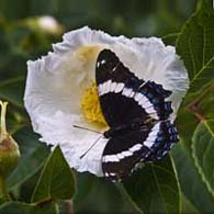 Butterfly on Stewartia Blossom