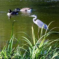 Great Blue Heron & Canada Geese