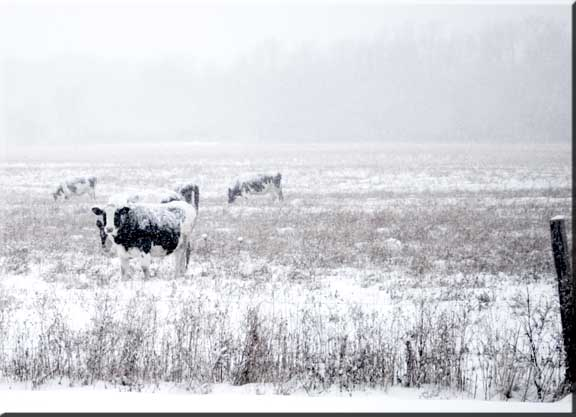 Photograph of a Holstien cow in a snowstorm.