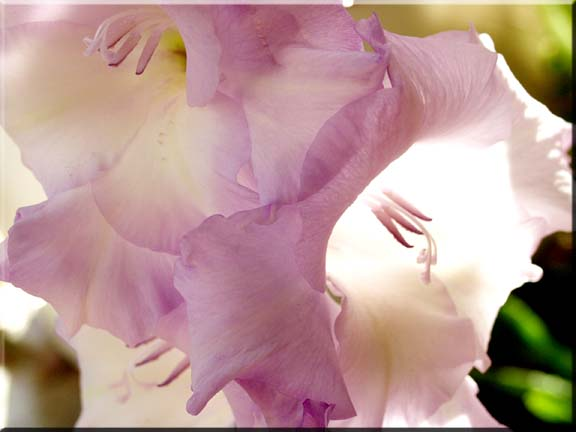 Sunlight shining through the petals of a gladiola flower.