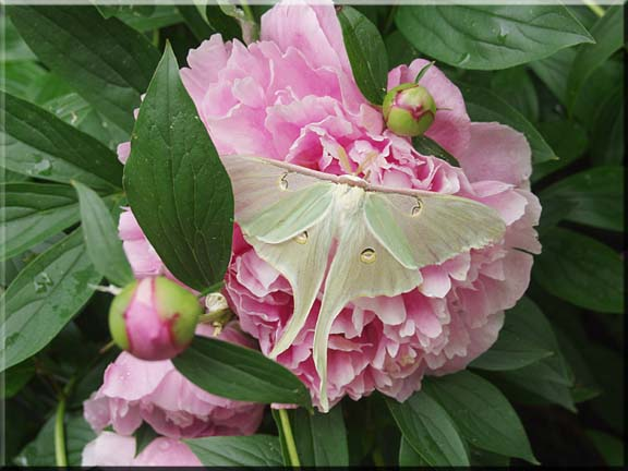A large Luna Moth alight on a huge pink peony blossom.