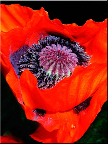 An almost surreal photograph of a section of a red Oriental Poppy.