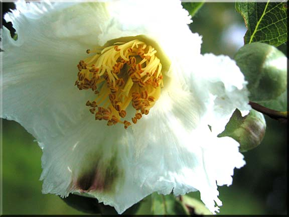 A photo of the beauty of a Stewartia flower in August.