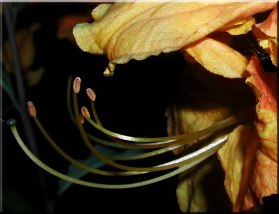 Close-up of the petals and stamens of a yellow Azalia.