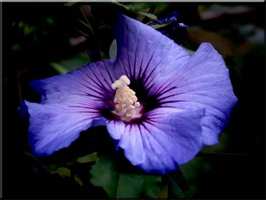 A photograph of a singlr Rose of Sharon flower floating in darkness.