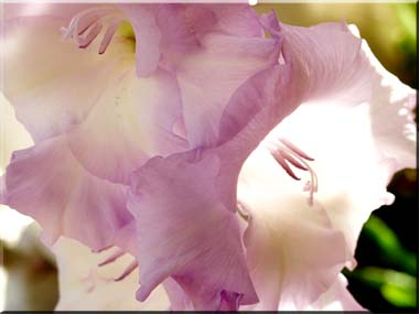 Photo of a gladiola with sunlight shining through the petals.