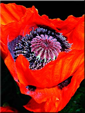 The center of an Oriental Poppy.