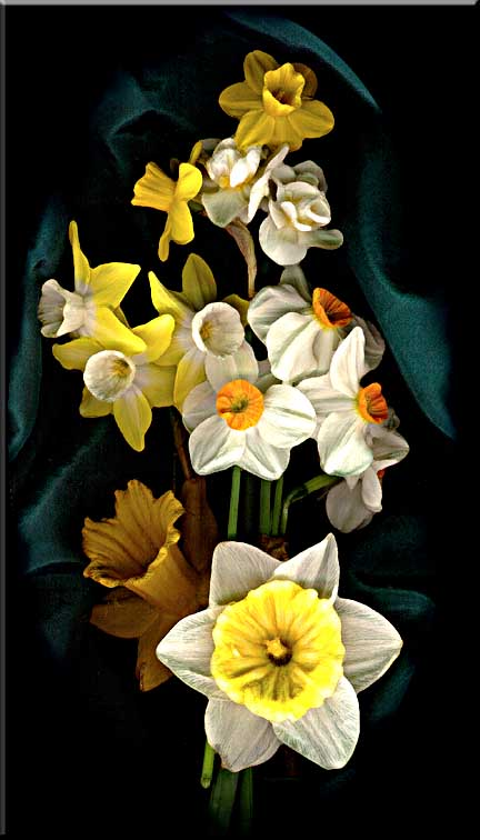 Spring daffodils arranged in front of draped silk.