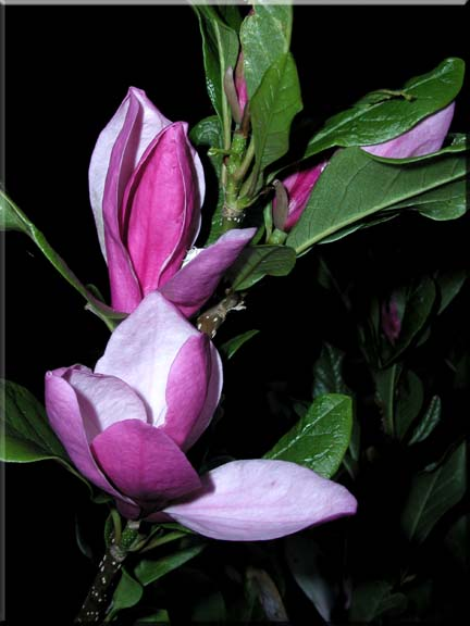 A Photographic composition of a Rose Bay Magnolia.