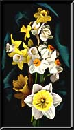 Daffodils photographed in front of dark green silk.