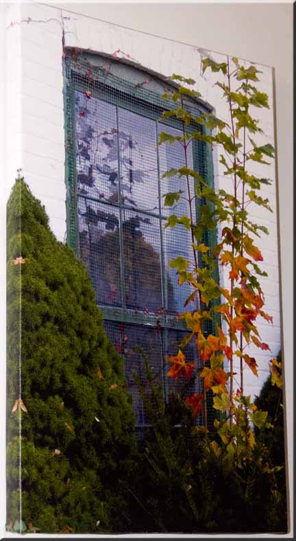 Giclee print on canvas of an old window with a maple sapling in front.