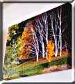 A Giclee print on canvas of autumn birches.