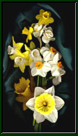 A photographic portrait of daffodils against a black background.