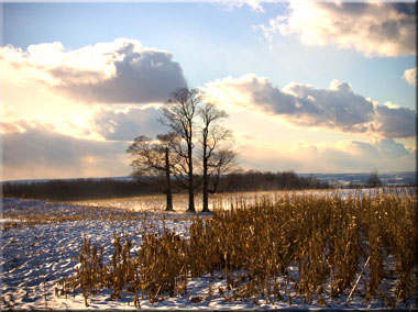 Three maple trees in a snowy cornfield.