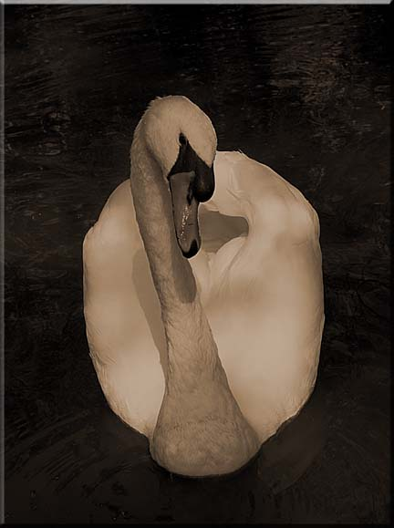 A photograph of a swan facing the observer.