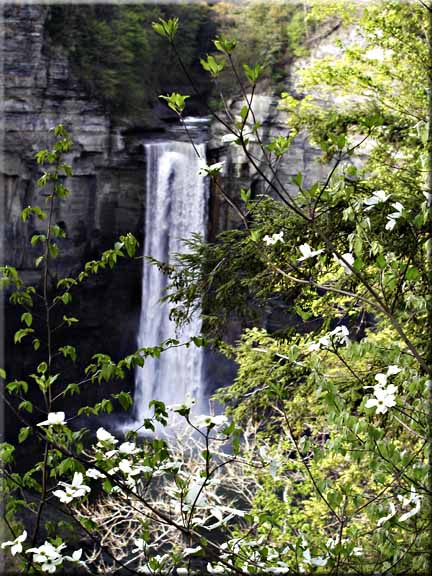 A Doogwood tree in blossom in front of Taughannock Falls.