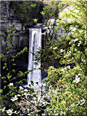 Flowering Dogwood blossoms in front of Taughannock Falls.