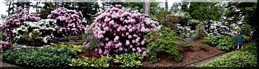 Panorama photograph of Rhododendrons blooming along a path.